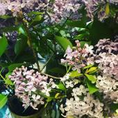 Heureusement...les lilas embaument!
